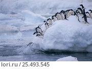 Купить «Adelie penguins jumping off ice into the sea {Pygoscelis adeliae} Antarctica NHU», фото № 25493545, снято 18 сентября 2019 г. (c) Nature Picture Library / Фотобанк Лори