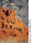 Dwarf mongoose {Helogale parvula} colony inhabit termite mound. Tsavo East NP, Kenya. Стоковое фото, фотограф Jabruson / Nature Picture Library / Фотобанк Лори