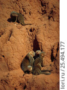 Dwarf mongoose family on termite mound {Helogale parvula} Tsavo East NP, Kenya, East Africa. Стоковое фото, фотограф Jabruson / Nature Picture Library / Фотобанк Лори