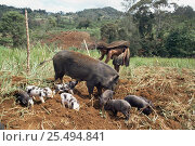 Купить «Huli tribal people with sow and piglets acting as plough in field, Papua New Guinea», фото № 25494841, снято 22 апреля 2019 г. (c) Nature Picture Library / Фотобанк Лори