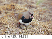 Southern lapwing {Vanellus chilensis} at nest with eggs hatching. La Pampa, Argentina. Стоковое фото, фотограф Gabriel Rojo / Nature Picture Library / Фотобанк Лори
