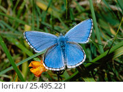 Купить «Adonis blue male butterfly {Polyommatus bellargus} Wiltshire, UK 2005 BRUNEL PROMOTIONS CALENDAR», фото № 25495221, снято 15 августа 2018 г. (c) Nature Picture Library / Фотобанк Лори
