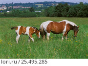Skewbald mare and foal grazing in field {Equus caballus} UK. Стоковое фото, фотограф Georgette Douwma / Nature Picture Library / Фотобанк Лори