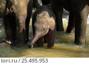 Купить «Young Indian elephant in water {Elephas maximus} Pinnawela orphanage, Sri Lanka», фото № 25495953, снято 16 июля 2018 г. (c) Nature Picture Library / Фотобанк Лори