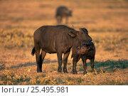 Купить «Cape buffalo with calf {Synceros caffer caffer} Masai Mara NR, Kenya», фото № 25495981, снято 13 июля 2020 г. (c) Nature Picture Library / Фотобанк Лори