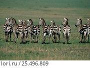 Купить «Common zebra herd rear view, standing alert {Equus quagga} Masai Mara National Reserve Kenya, East Africa», фото № 25496809, снято 15 августа 2018 г. (c) Nature Picture Library / Фотобанк Лори
