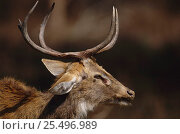 Купить «Male Eld's deer {Cervus eldi} head profile with antlers. Kaibul Lamjai Sanctuary, Manipur, India. Known locally as Sangai or Brow-antlered deer. Endemic threatened species.», фото № 25496989, снято 22 января 2020 г. (c) Nature Picture Library / Фотобанк Лори