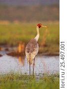 Купить «Brolga crane {Grus rubicunda} Yepon, Queensland, Australis», фото № 25497001, снято 21 ноября 2019 г. (c) Nature Picture Library / Фотобанк Лори