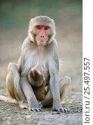 Купить «Rhesus macaque suckling baby {Macaca mulatta} Keoladeo Ghana NP, India Rajasthan», фото № 25497557, снято 26 февраля 2020 г. (c) Nature Picture Library / Фотобанк Лори