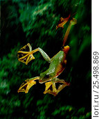 Купить «Wallace's gliding frog's extensive foot webbing allows it to glide long distances (Resolution restriction - image digitised from film, 'Weird Nature' tv series)», фото № 25498869, снято 17 июля 2018 г. (c) Nature Picture Library / Фотобанк Лори
