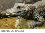 West African dwarf crocodile C{Osteolaemus tetraspis} captive. Стоковое фото, фотограф David Kjaer / Nature Picture Library / Фотобанк Лори