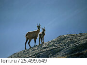Chamois mother and young {Rupicapra rupicapra} Gran Paradiso National Paark, Italy, Europe. Стоковое фото, фотограф Ingo Arndt / Nature Picture Library / Фотобанк Лори