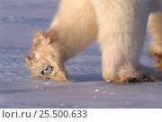 Купить «Polar bear walking, showing hairy footpad {Ursus maritimus} Canada», фото № 25500633, снято 25 сентября 2018 г. (c) Nature Picture Library / Фотобанк Лори