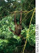 Orang utan juvenile swinging in tree {Pongo pygmaeus} Sabah, Borneo. Стоковое фото, фотограф Jurgen Freund / Nature Picture Library / Фотобанк Лори
