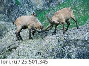 West caucasian tur males fighting {Capra caucasica} Caucasus mountains, Russia. Стоковое фото, фотограф Konstantin Mikhailov / Nature Picture Library / Фотобанк Лори