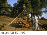 Harvesting cork from Cork oak trees {Quercus suber} Spain. Стоковое фото, фотограф John Cancalosi / Nature Picture Library / Фотобанк Лори