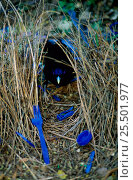 Купить «Satin bowerbird male at bower decorated with blue objects to attract mate, Lamington NP.», фото № 25501977, снято 18 июня 2018 г. (c) Nature Picture Library / Фотобанк Лори