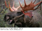 Купить «Moose eating velvet from antlers {Alces alces} Sarek NP. Sweden.», фото № 25502217, снято 23 января 2019 г. (c) Nature Picture Library / Фотобанк Лори