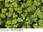 Купить «Opposite leaved golden saxifrage {Chrysosplenium oppositifolium} Derbyshire, UK», фото № 25502461, снято 19 июля 2018 г. (c) Nature Picture Library / Фотобанк Лори