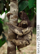 Pale throated sloth {Bradypus tridactylus} Manaus, Brazil, South America. Стоковое фото, фотограф Staffan Widstrand / Nature Picture Library / Фотобанк Лори