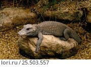 West African dwarf crocodile {Osteolaemus tetraspis} Стоковое фото, фотограф David Kjaer / Nature Picture Library / Фотобанк Лори
