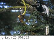 Купить «Eastern Black and white colobus monkey {Colobus guereza} in tree, Kenya», фото № 25504353, снято 21 января 2020 г. (c) Nature Picture Library / Фотобанк Лори