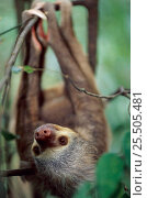 Купить «Hoffmann's two toed sloth {Choloepus hoffmanni} native to South America», фото № 25505481, снято 21 марта 2018 г. (c) Nature Picture Library / Фотобанк Лори