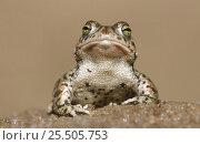 Купить «Natterjack toad {Bufo calamita} Germany», фото № 25505753, снято 30 марта 2020 г. (c) Nature Picture Library / Фотобанк Лори