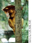 Купить «Matchie's tree kangaroo (Dendrolagus matchiei} native to Papua New Guinea - endangered species», фото № 25506141, снято 15 июля 2020 г. (c) Nature Picture Library / Фотобанк Лори