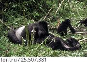 Купить «Silverback Mountain gorilla grooming family {Gorilla beringei} Rwanda», фото № 25507381, снято 15 августа 2018 г. (c) Nature Picture Library / Фотобанк Лори