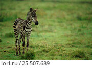 Common zebra foal {Equus quagga} Masai Mara, Kenya. Стоковое фото, фотограф Staffan Widstrand / Nature Picture Library / Фотобанк Лори