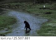 Young Western lowland gorilla crosses stream walking on back legs {Gorilla gorilla gorilla} Odzala NP, Congo. Стоковое фото, фотограф Jabruson / Nature Picture Library / Фотобанк Лори