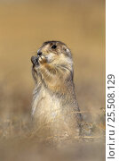 Купить «Black tailed prairie dog {Cynomys ludovicianus} USA», фото № 25508129, снято 2 июня 2020 г. (c) Nature Picture Library / Фотобанк Лори