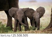 Купить «African elephant babies with large ears (Loxodonta africana) Masai Mara NR, Kenya», фото № 25508505, снято 14 октября 2019 г. (c) Nature Picture Library / Фотобанк Лори