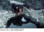 Купить «Chimpanzee looking at its reflection {Pan troglodytes} Ituri Forest, N.E.Zaire, Africa (chimp chimps chimpanzees)», фото № 25508837, снято 29 января 2020 г. (c) Nature Picture Library / Фотобанк Лори