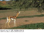 Springbok (Antidorcas marsupialis) feeding on Acacia tree, Kgalagadi Transfrontier Park, South Africa. Стоковое фото, фотограф Pete Oxford / Nature Picture Library / Фотобанк Лори