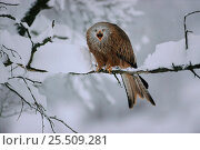 Купить «Red kite vocalising from branch, winter, Germany», фото № 25509281, снято 16 июля 2018 г. (c) Nature Picture Library / Фотобанк Лори