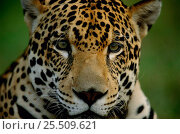 Young male Jaguar {Panthera onca} portrait, captive, Pantanal, Brazil. Стоковое фото, фотограф Staffan Widstrand / Nature Picture Library / Фотобанк Лори