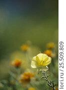 Купить «Evening primrose flower {Oenothera biennis} Germany», фото № 25509809, снято 23 июля 2018 г. (c) Nature Picture Library / Фотобанк Лори