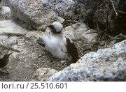 Купить «Hood mocking birds {Nesomimus trifasciatus macdonald} attacking  Masked booby chick, Galapagos», фото № 25510601, снято 7 июля 2020 г. (c) Nature Picture Library / Фотобанк Лори