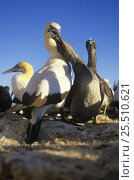 Купить «Cape gannet (Morus capensis) chick begging for food, Malgas island, South Africa, vulnerable species», фото № 25510621, снято 16 августа 2018 г. (c) Nature Picture Library / Фотобанк Лори