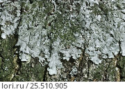 Купить «Crottle lichen {Parmelia saxitalis} on rock Scotland, UK Inverness-shire», фото № 25510905, снято 18 августа 2018 г. (c) Nature Picture Library / Фотобанк Лори