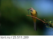 Купить «Grey wagtail with damselfly prey {Motacilla cinerea} UK», фото № 25511289, снято 23 октября 2018 г. (c) Nature Picture Library / Фотобанк Лори