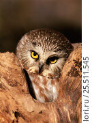 Купить «Northern saw-whet owl {Aegolius acadicus} at Raptor centre, USA», фото № 25511545, снято 17 января 2018 г. (c) Nature Picture Library / Фотобанк Лори