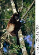 Milne Edwards sifaka {Propithecus diadema edwardsi} Ranamafana NP, Madagascar. Стоковое фото, фотограф Pete Oxford / Nature Picture Library / Фотобанк Лори