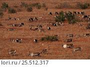 Купить «Caribou migration over tundra {Rangifer tarandus} Kobuk Valley NP, Alaska», фото № 25512317, снято 24 марта 2019 г. (c) Nature Picture Library / Фотобанк Лори