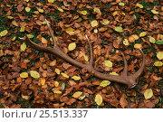 Купить «Shed Red deer antler on beech leaves {Cervus elaphus} Spain», фото № 25513337, снято 26 сентября 2018 г. (c) Nature Picture Library / Фотобанк Лори