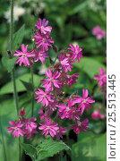Купить «Red campion in flower {Silene dioica} Yorkshire, UK.», фото № 25513445, снято 19 февраля 2019 г. (c) Nature Picture Library / Фотобанк Лори