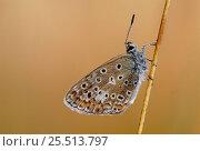 Купить «Adonis blue butterfly resting {Polyommatus bellargus} France», фото № 25513797, снято 15 августа 2018 г. (c) Nature Picture Library / Фотобанк Лори