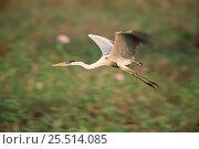 Купить «Portrait of flying Cocoi heron {Ardea cocoi} Pantanal, Mato Grosso, Brazil.», фото № 25514085, снято 23 марта 2019 г. (c) Nature Picture Library / Фотобанк Лори